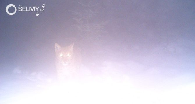 A foggy image of lynx