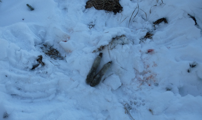 A dead hare hidden in snow