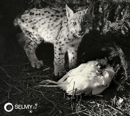 Lynx cub with a killed chicken