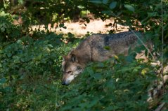 Zdroj: https://www.wur.nl/en/newsarticle/Ten-different-wolves-accounted-for-in-the-Netherlands-up-to-November-2018-of-which-six-are-females.htm