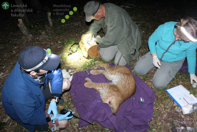 A sedated lynx being fitted with a radio-tracking collar