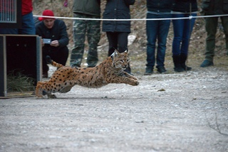 A lynx being released into wild