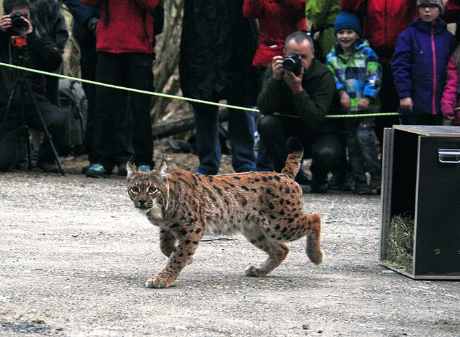 A lynx being released into wild, watched by the public and photographers