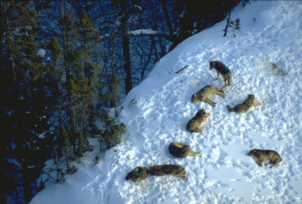 A wolf pack resting on snow covered hill