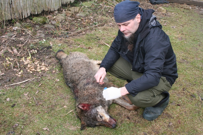 Zoologist Pavel Hulva is collecting a sample of tissue for genetic analysis. Photo: Pavel Hulva