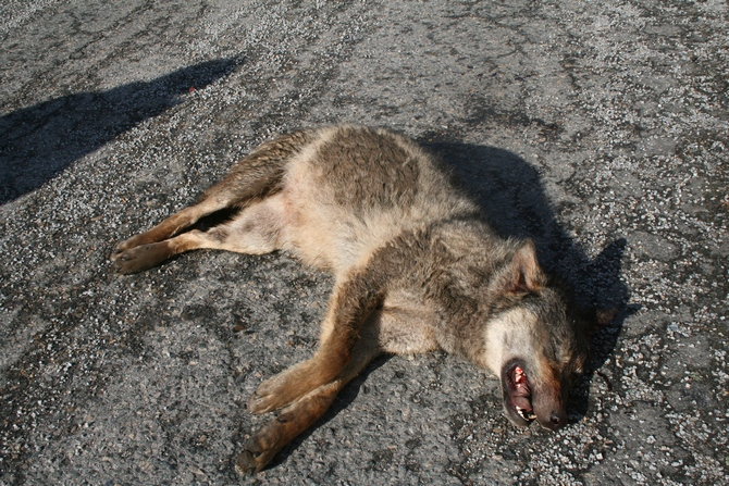 A wolf killed on the D1 near Skorkov. Photo: Pavel Hulva