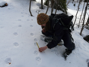 A member of Wolf Patrols measuring lynx footprints in the snow