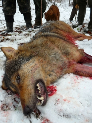 A wolf killed by hunters in Slovakia