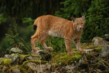 A young lynx in the Bohemian Forest