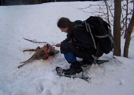 Inspecting remains of a deer killed by a large carnivore