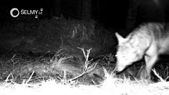 A wolf photographed by the camera trap