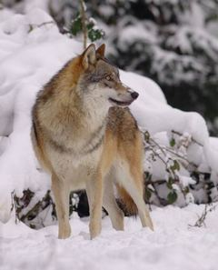 A grey wolf in snow-covered landscape