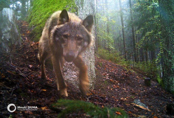 Wolf caught on camera trap