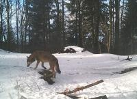 One wolf..., camera trap of Vlado Trulík