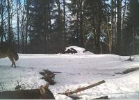 ...turned out to be two wolves, camera trap of Vlado Trulík