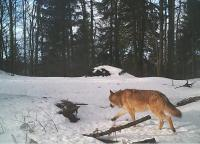 Grey wolf in the Javorníky Mountains, camera trap of Vlado Trulík