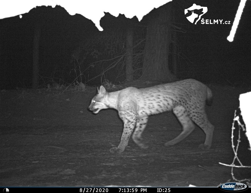 The lynx was captured by the camera trap in the Vsetín Beskydy. Source: Hnutí DUHA Olomouc