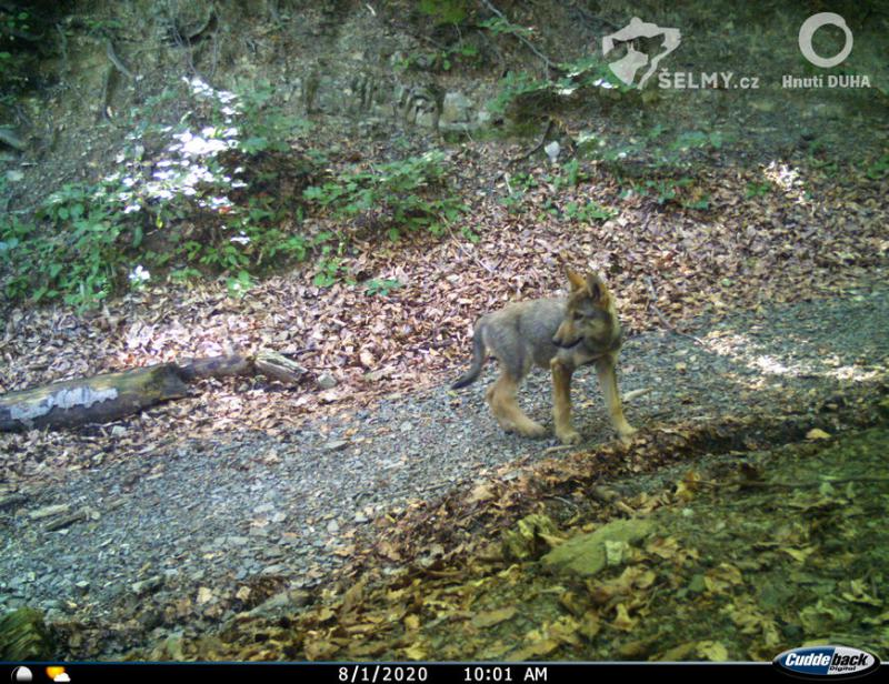 Wolf cub in the Silesian Beskydy. Photo from camera trap, Jiri Labuda, Hnutí DUHA Olomouc